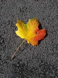 The was the first Autumn leaf of the year to catch my eye